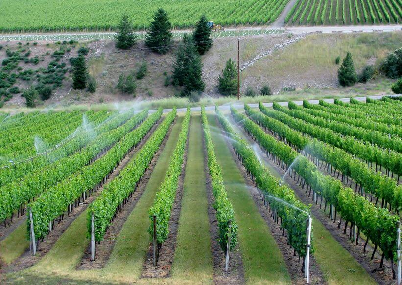 Irrigazione In Vigna Si O No Hello Taste
