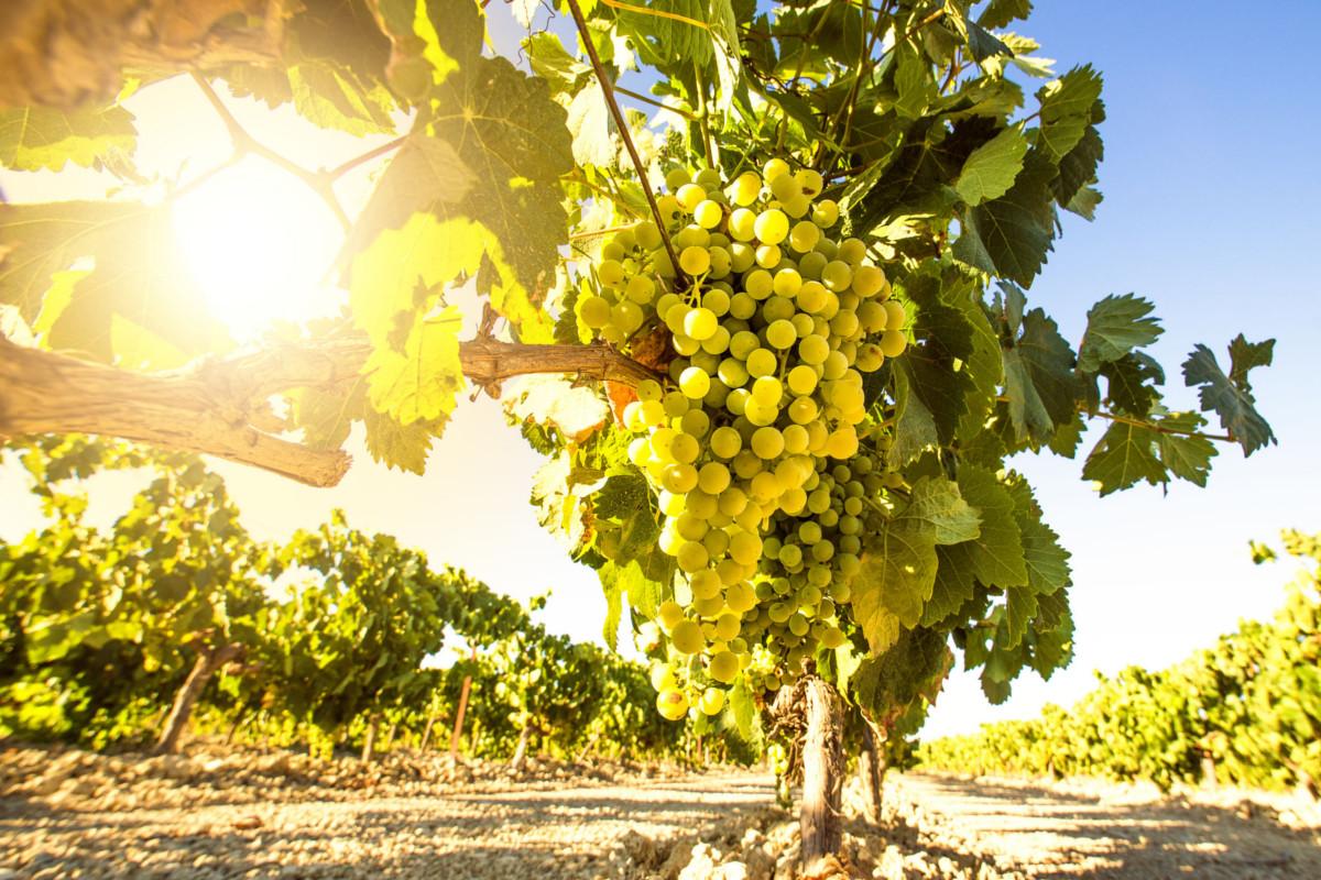 Uve Grillo, caratteristiche e suoi vini