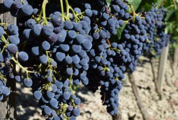 Cantine Aperte in Vendemmia 2018 in Calabria