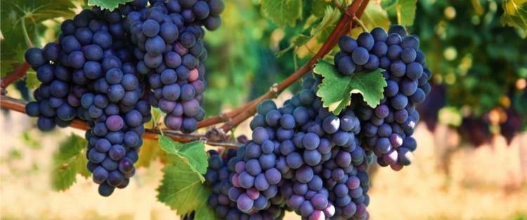 Grappoli di uva raboso
