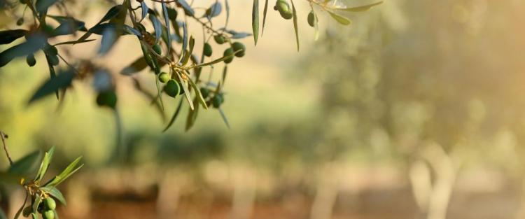 Le varietà di olivo in Italia: le cultivar